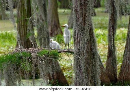 Baby Great Egrets With Nest
