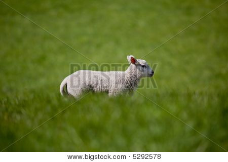 A lamb running in a green meadow of grass poster