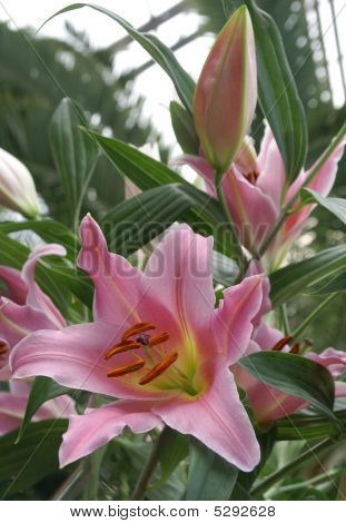 The Pink Lilies