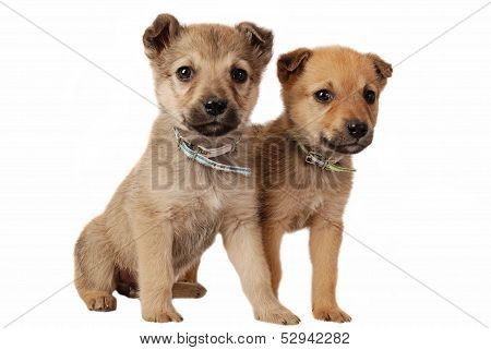Two Cute Mixed Breed Puppies On White
