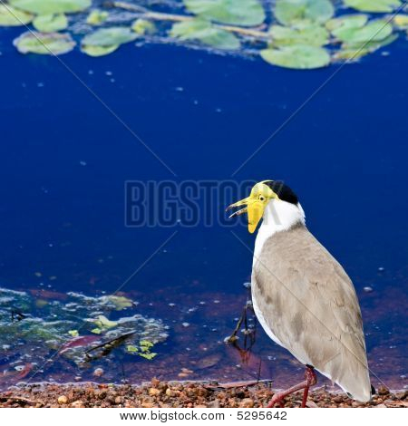 Masked lapwing at a blue pond in Kakadu National Park Australia. poster