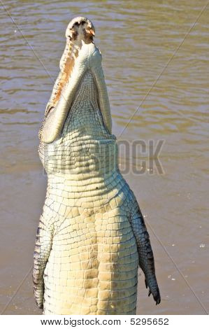 Jumping Saltwater Crocodile