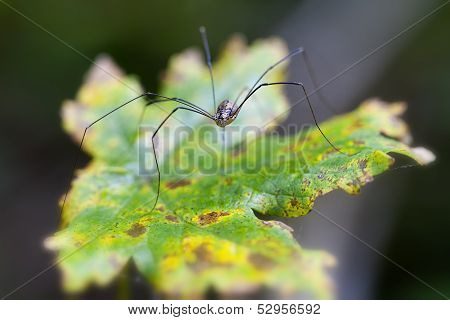 Harvestman - autumnal leaf