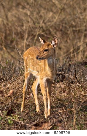 Baby Axis Deer In Bandipur National Park