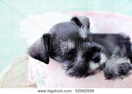 Sleeping Mini Schnauzer