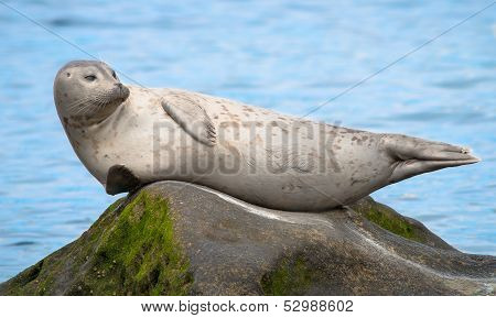 Grey Seal Resting at the Children's Pool in La Jolla, San Diego California