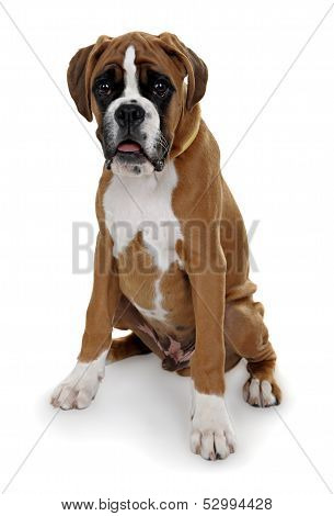 red dog breed boxer on a white background.