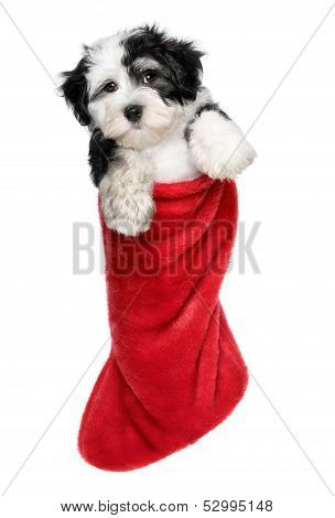 Cute Havanese Puppy Dog Is Hanging On A Santa Boots