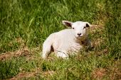 A sheep resting in a grass pasture. poster