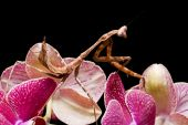 Peacock Praying Mantis against a black background on a pink flower poster