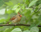 Female cardinal (cardinalis cardinalis) perched in a tree branch poster