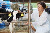 Beautiful woman in white robe strokes small cute calf in big cow farm. poster