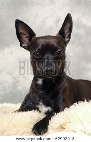 Smalle black puppy dog is resting. The breede of the dog is a mix of a chihuahua and a miniature pinscher.