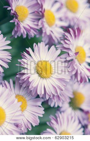 Pastel Spring Daisy