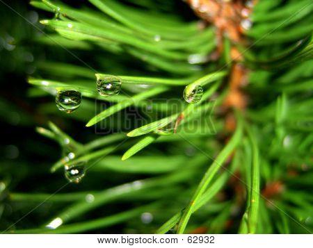Macro Pine Tree