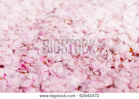 Ground covered with cherry blossom petals.  Pink cherry flower petals covering the ground.