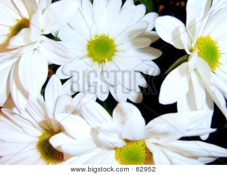 Wedding Daisys