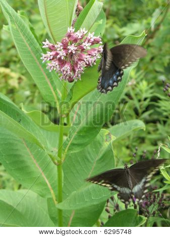 Milkweed and butterflies