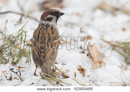 Forest Sparrow