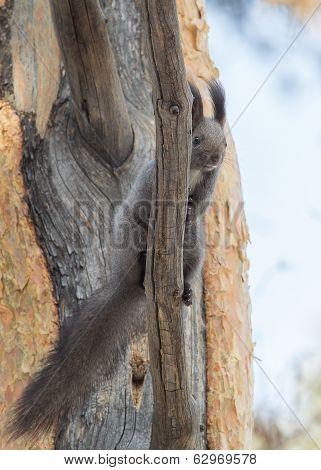 Looking Squirrel