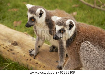 Ring Tailed Lemur's