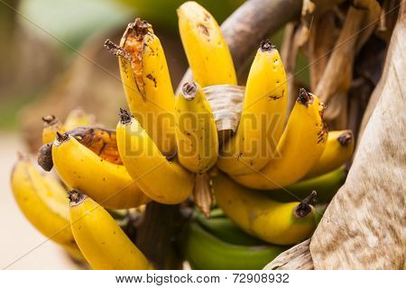 Banana Tree In Amazonian Rainforest, South America
