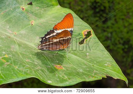 Adelpha Cytherea Linnaeus Butterfly, Commonly Known As Sisters, Due To The White Markings On Their Wings, South America poster