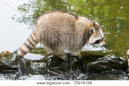 Adult Raccoon At A Small Stream