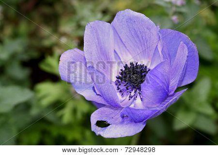 Anemone Coronaria  Or Poppy Anemone