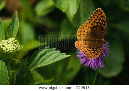 Butterfly On Cornflower In Garden