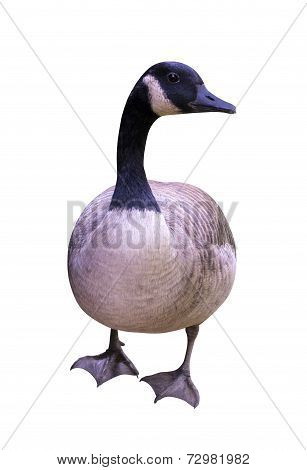 nature Goose bird isolated on white background