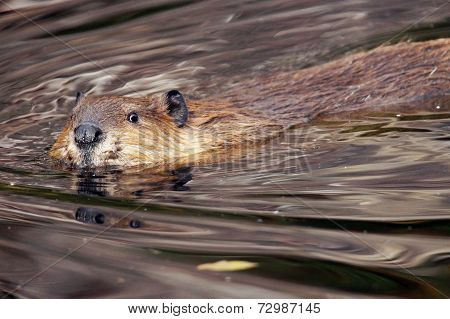 Beaver Looking At Camera