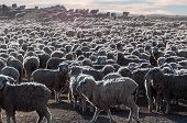 That is a lot of sheeps Tierra del Fuego Argentina. poster