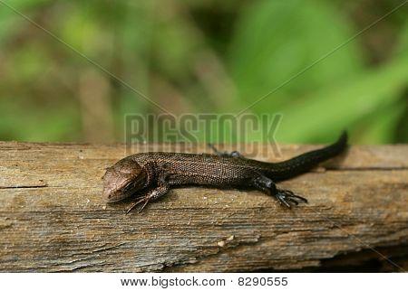 Tiny bronze lizard