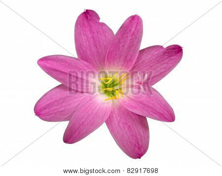Zephyranthes Lily, Rain Lily ,fairy Lily, Little Witches Isolated With Clipping Path