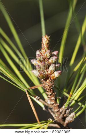 Ponderosa Pine Tree New Growth - Pinus