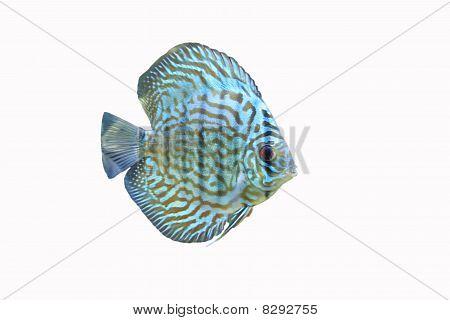 Blue Discus Tropical Aquarium Fish