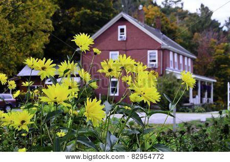 Yellow daisy's