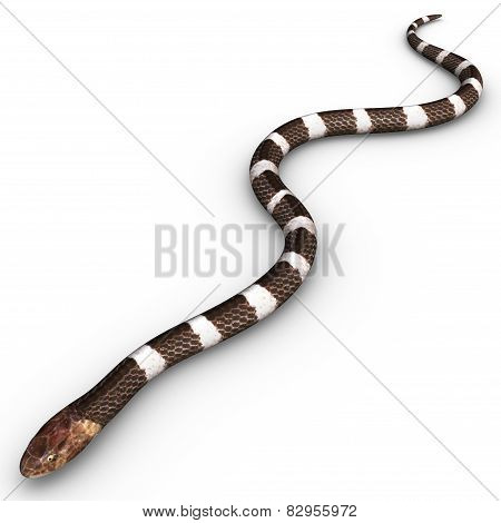 The common krait is a species of venomous snake of the genus Bungarus found in the jungles of the Indian subcontinent. poster