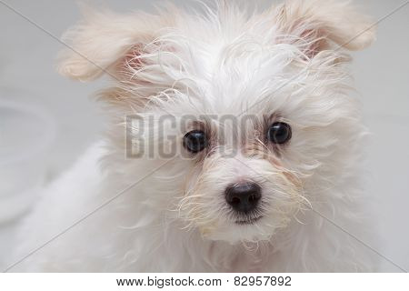 Shih Tzu Puppy Breed Tiny Dog On White Background