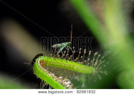 Green-fly and Sundew