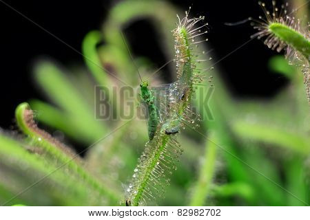 Chrysopidae trying to get out from sundew