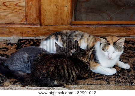 Cat nursing two kittens