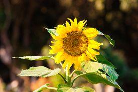 Wild Sunflower Backlit By Setting Sun