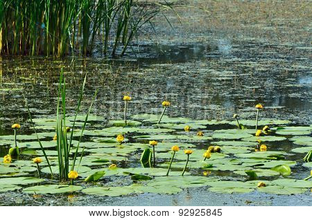 Blossoming Water-lily. Flowering Water Lily Yellow And Poplar Fluff On The River Dnieper.