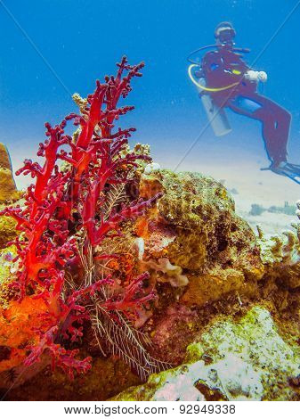 Diver At The Corals