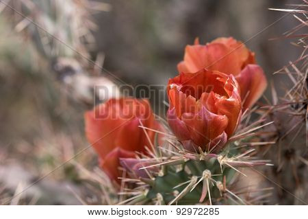 Cactus At Saguaro National Park, Arizona, Usa