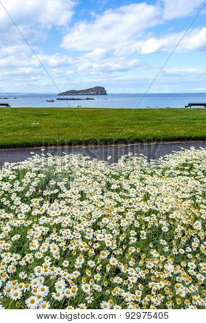 Spring white daisies at North Berwick Scotland