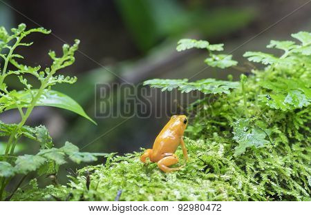 Golden Dart Frog