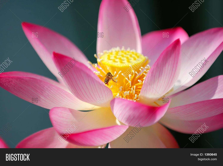 Blooming lotus flower image photo free trial bigstock blooming lotus flower and a bee izmirmasajfo